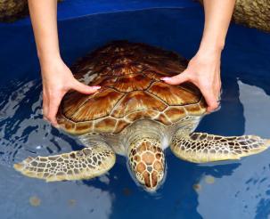 turtle hatchery  at kosgoda